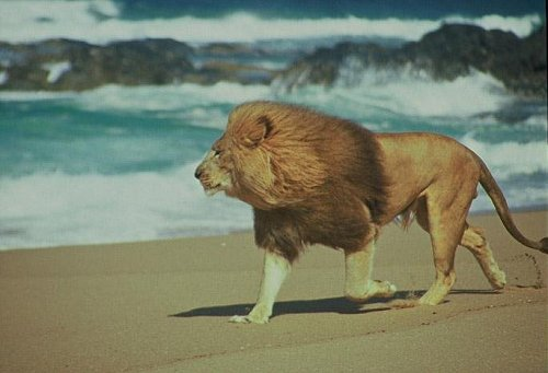 Im With A Lion On A Beach A Dream Interpretation Jungian
